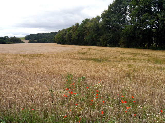 Poppies in a Barley Field