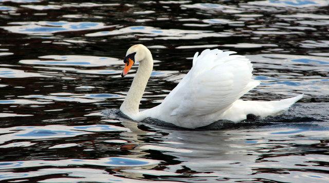 A swan a-swimming, Marlow, Buckinghamshire