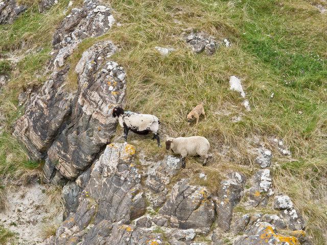 Sheep-worrying, Iona