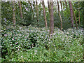 SJ9351 : Woodland near Stanley Pool by William Starkey