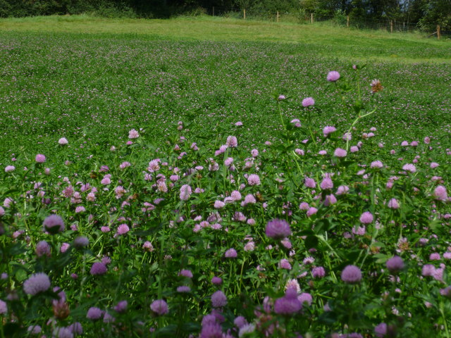 Clover field near Perching Sands Farm