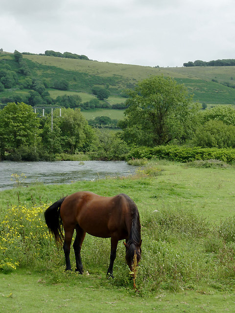 Grazing by the Afon Teifi at Pont Gogoyan, Ceredigion