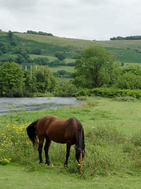 Grazing by the Afon Teifi at Pont Gogoyan, Ceredigion