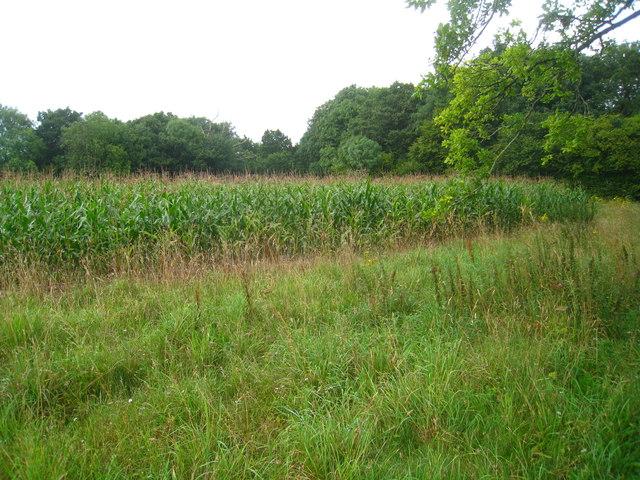 Maize field by Sheep Wood