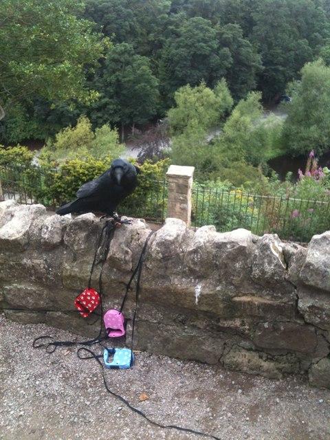 Raven at Knaresborough Castle