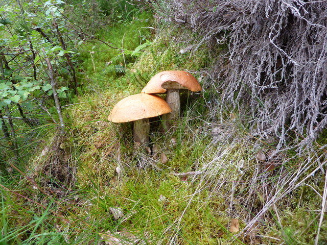 Two large fungi by the minor road at Birchfield