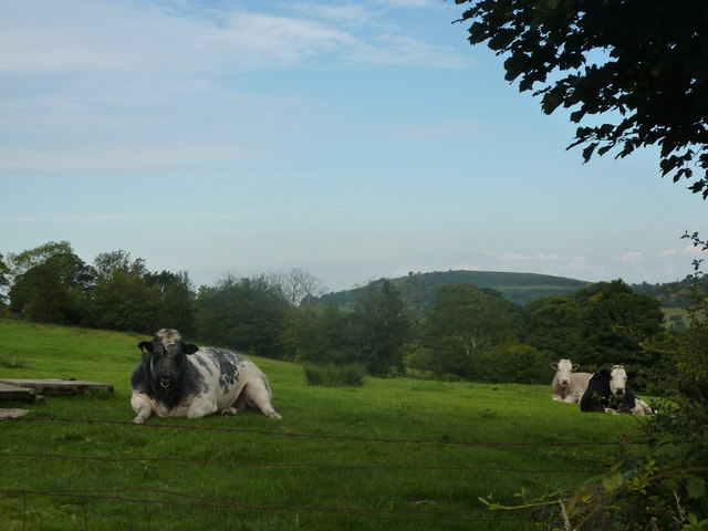 Bull and two cows