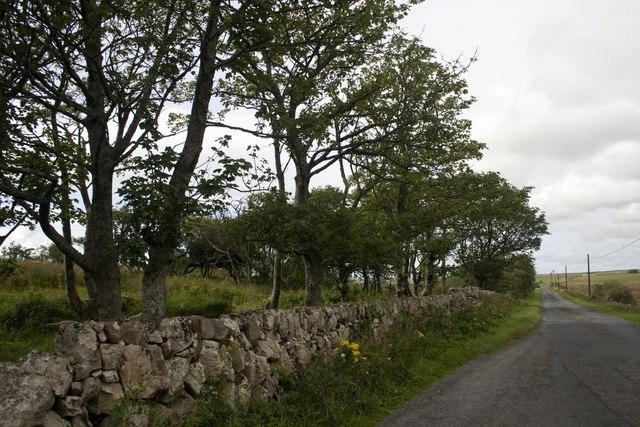 Trees on B8016, Islay