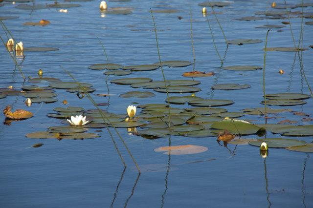 White Water-lily (Nymphaea alba), Loch nan Craobhag