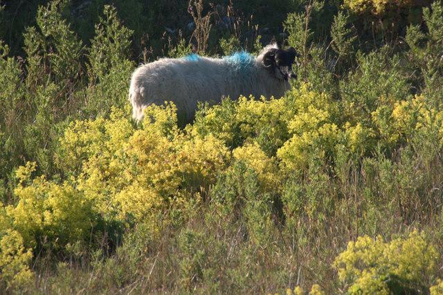 Blackface sheep amongst Lady's Mantle at Horsacleit
