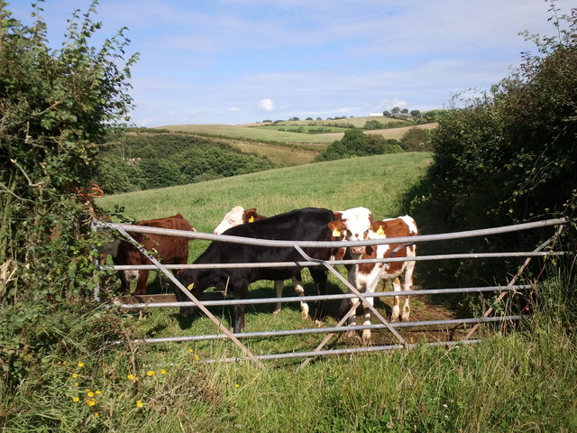 Calves at the gate in Pitt Lane