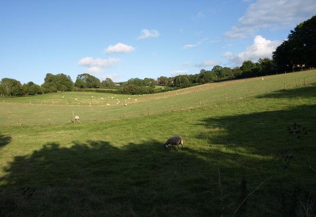 Sheep near Shipham