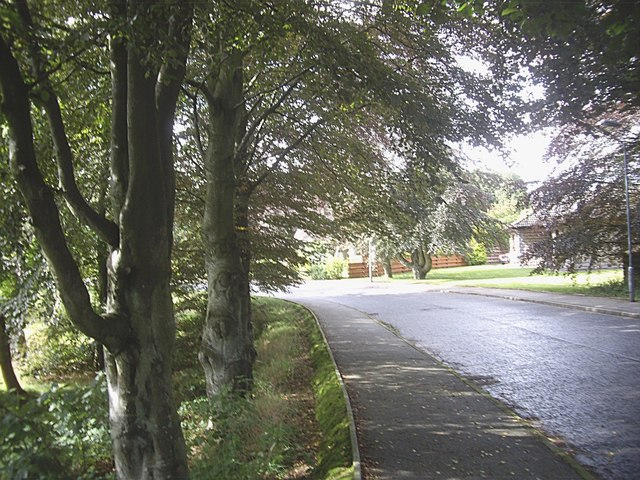 Mature trees in Annesley Grove, Torphins