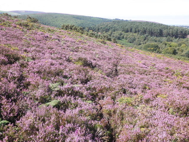 Path through the heather, on Luccombe Hill