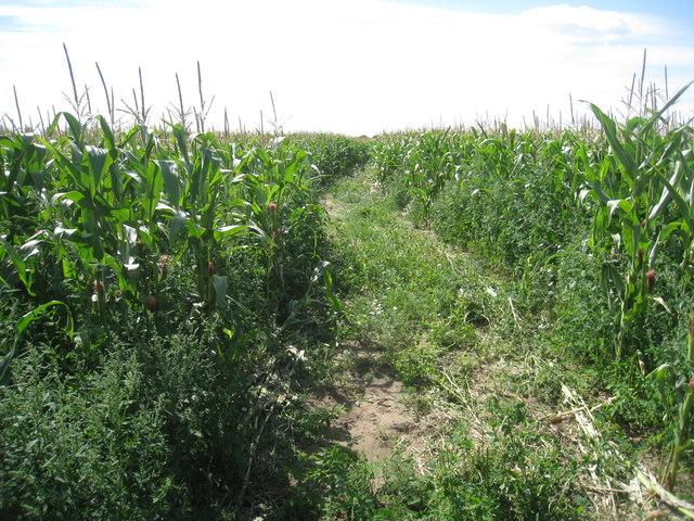 Bridleway through the maize
