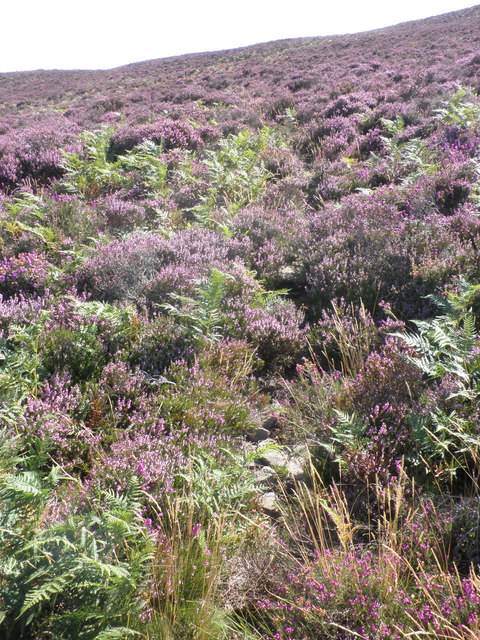 Blooming heather, on Luccombe Hill