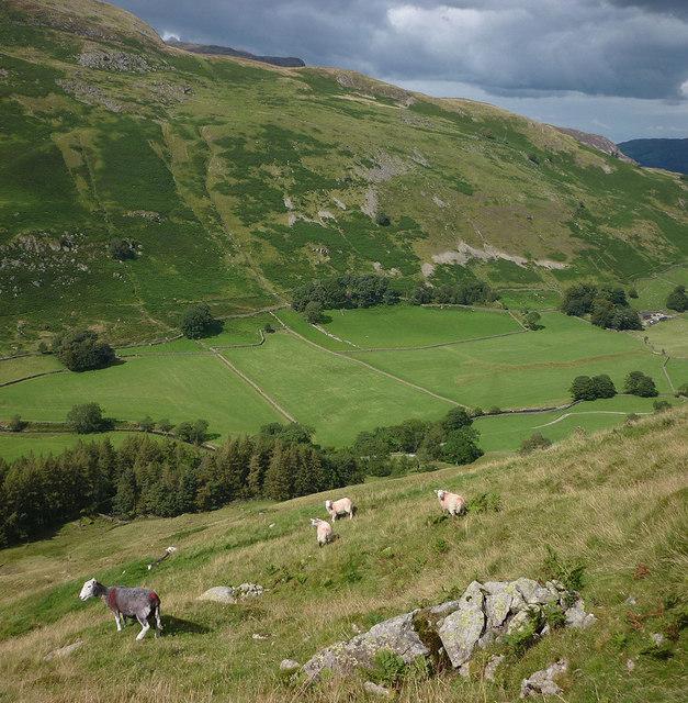 Sheep above Elmhow Plantation, Grisedale
