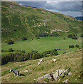 NY3714 : Sheep above Elmhow Plantation, Grisedale : Week 33