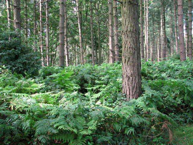 Bracken and conifers