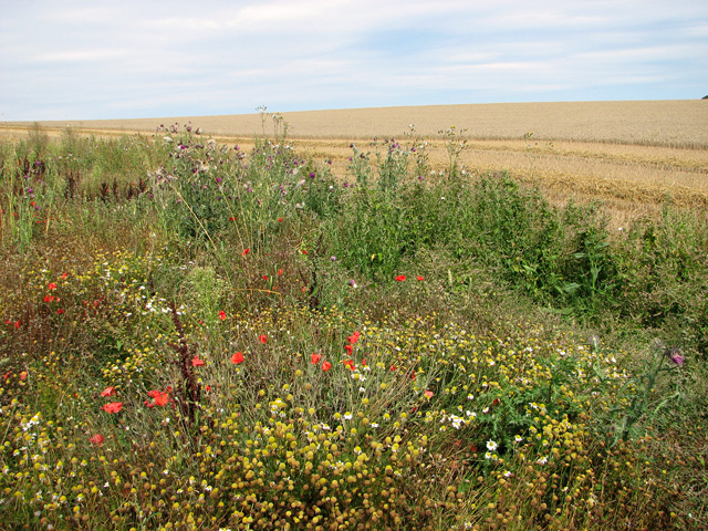 Wild flowers beside harvested field, Sedgeford