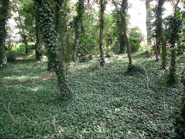 Ivy-clad trees in Dovehill Wood, Sedgeford