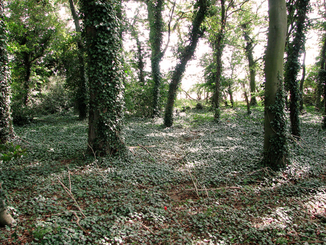 Ivy and trees in Dovehill Wood, Sedgeford
