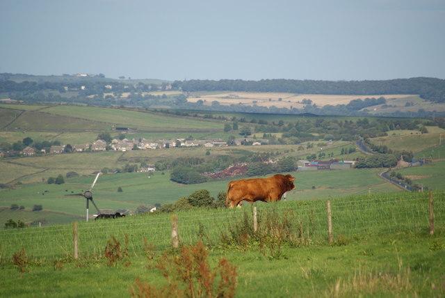 Bull above Bradshaw Clough