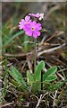 NY8129 : Bird's-eye Primrose (Primula farinosa), Red Sike by Andrew Curtis