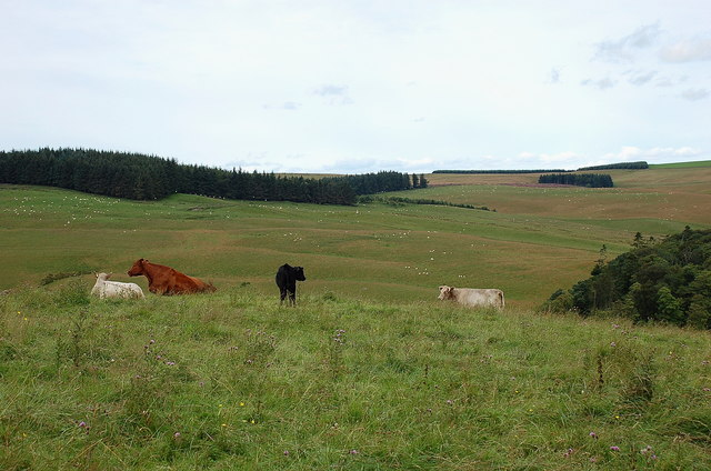 Cows and a calf, Brown Rig