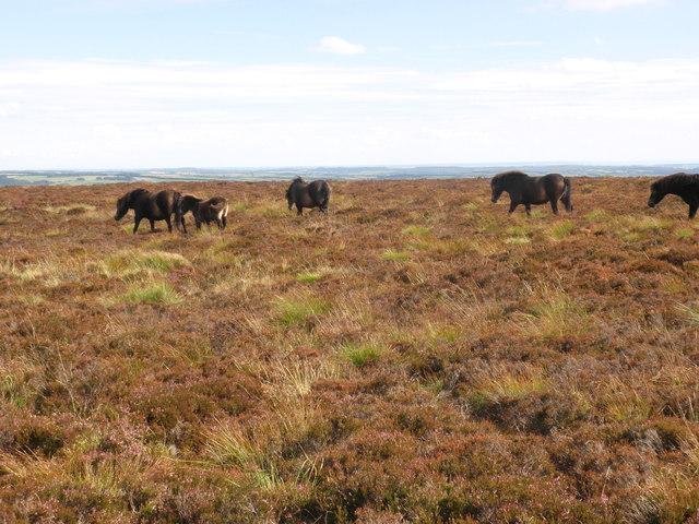Exmoor Ponies, on Goosemoor Common