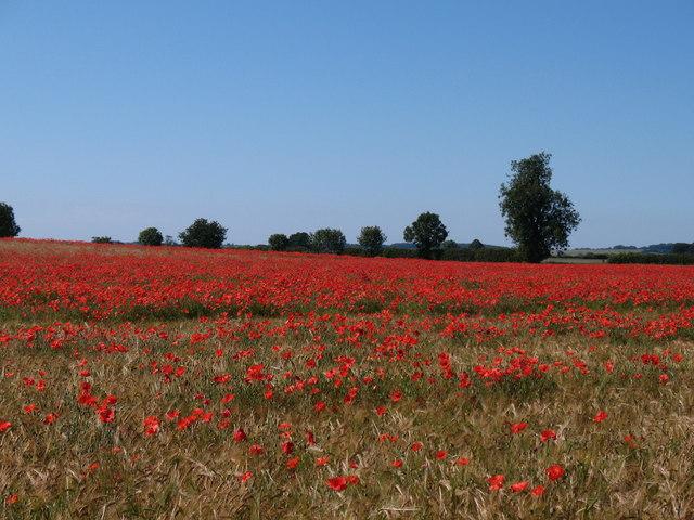 Poppy field, Myton