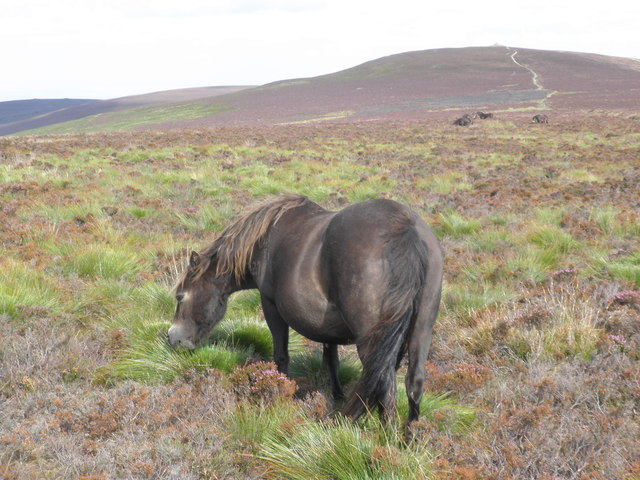 Exmoor Pony, grazing on Goosemoor Common