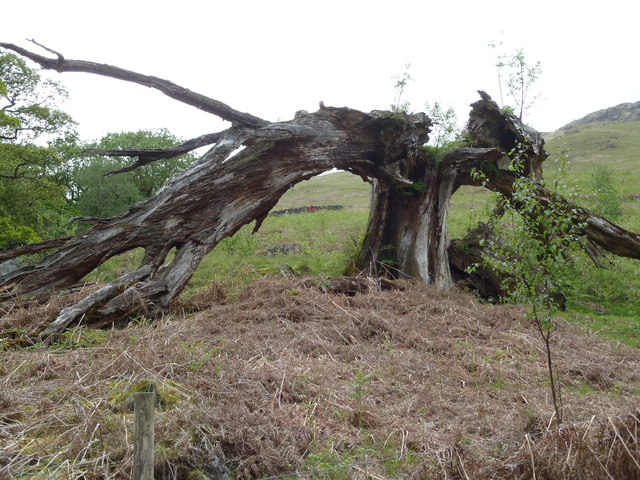Gnarled old tree of Buchan