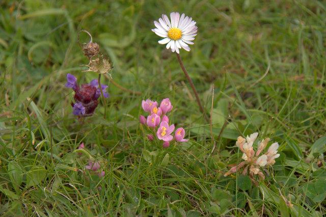 Four machair flowers at Huisinis