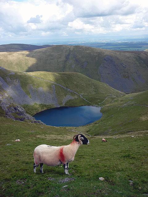 Sheep above Scales Tarn