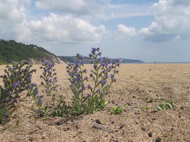 Viper's bugloss on Slapton Sands