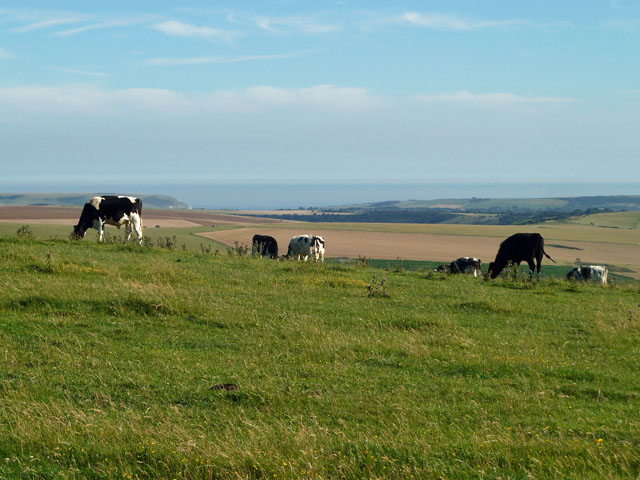 Cattle with a sea view