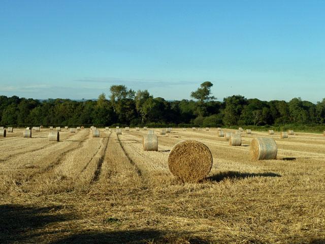 Field of baled straw
