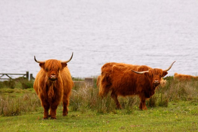 Highland cattle by Colliford Lake