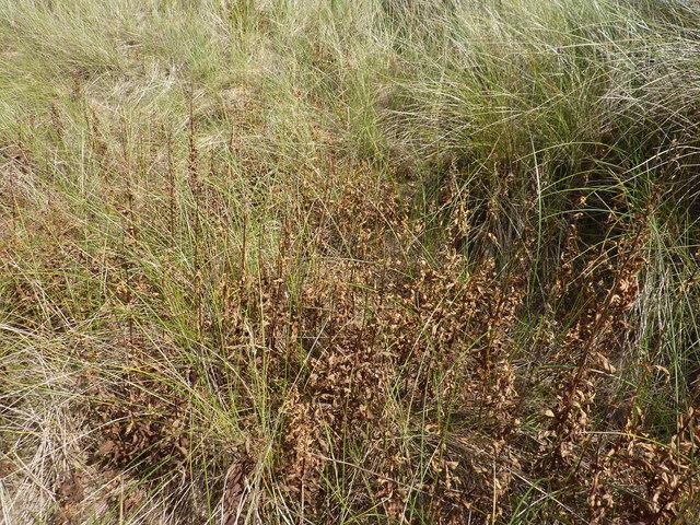 Dead weeds in the marram grass beside Donald Trump's golf course