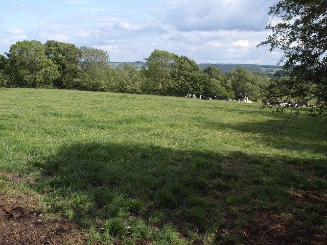 Cattle by Swindon  Lane