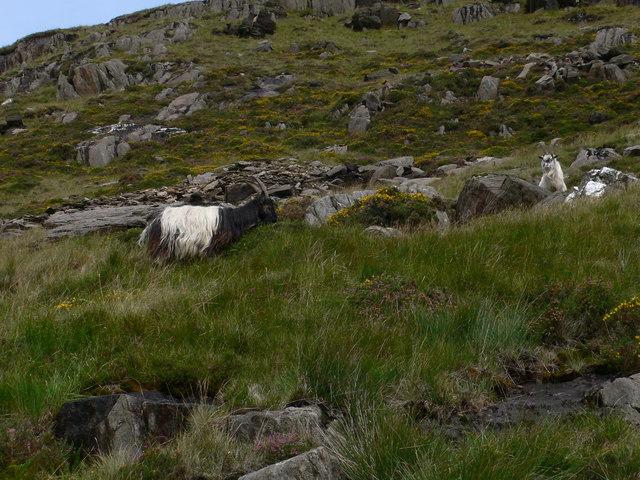 Snowdon's feral goats