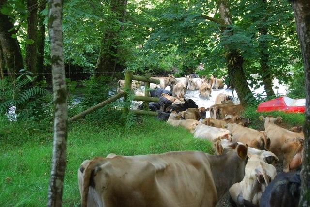 River Mole: Cows crossing