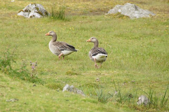 Greylag Geese (Anser anser), Scaladale