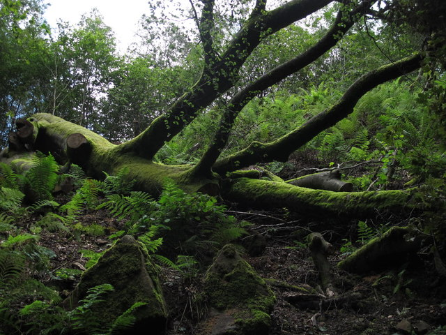 Fallen giant in the deep, dark wood