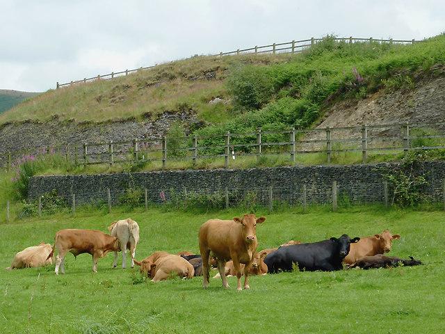 Cattle north-east of Tregaron, Ceredigion