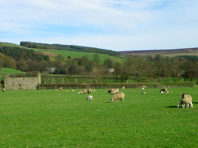 Ewes and lambs near Ramsgill