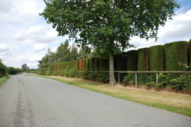 Hedge of Clipped Conifers