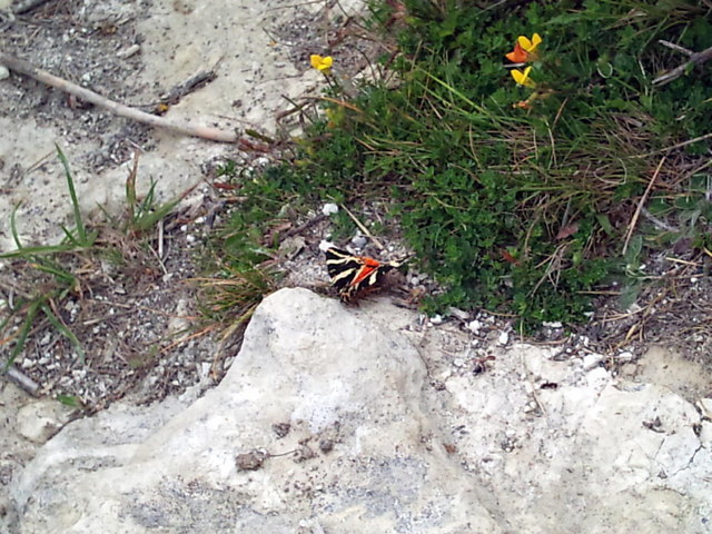 Folkestone Warren, Jersey Tiger Moth