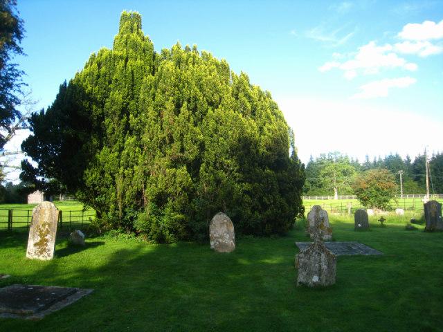Yew tree - St Nicholas - Steventon